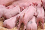 Boa condição corporal e produção de leite de matrizes estão associadas ao necessário desempenho de leitões