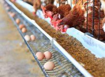 Suplementação de cálcio para aves poedeiras é essencial para a casca de ovos e a manutenção óssea e metabólica